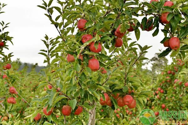 提高苹果树嫁接成活率的方法