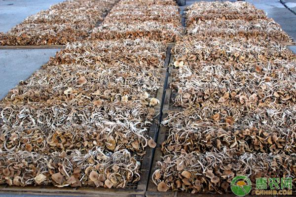 茶树菇价格