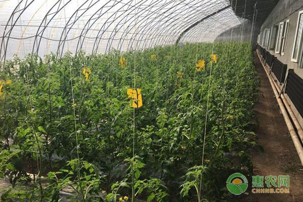 西红柿苗价格
