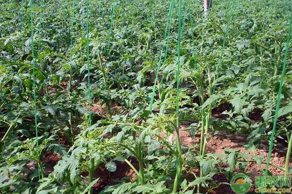 西红柿的育苗技术