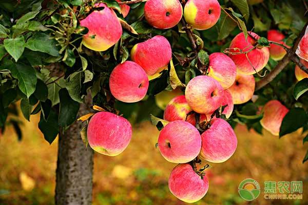 蘋果萎蔫的原因及預防措施