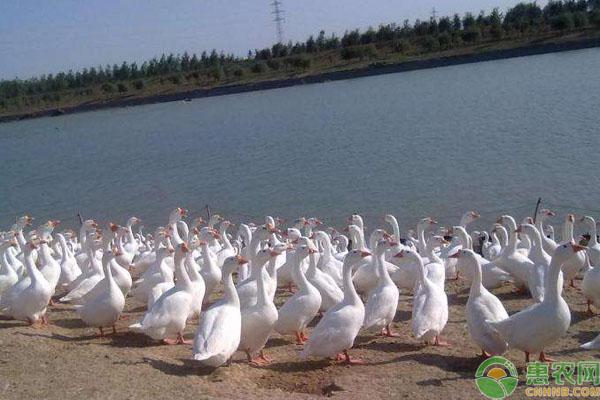 肉鹅养殖夏季要点