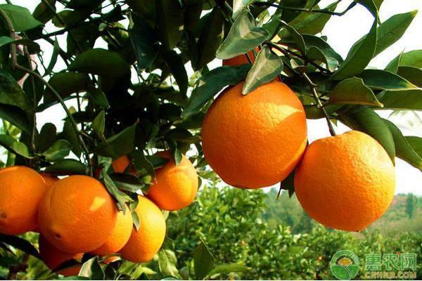 脐橙种植方法和注意要点