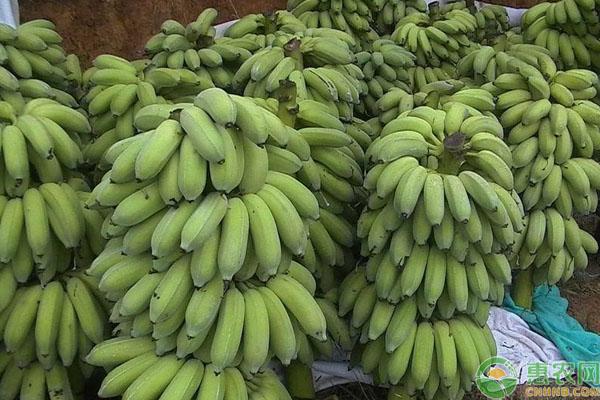 小米蕉价格