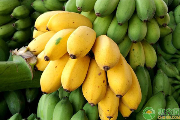 小米蕉催熟