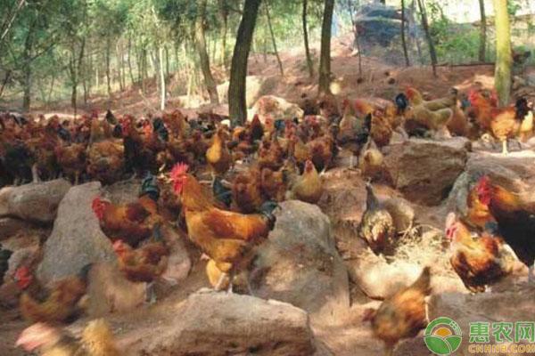 土鸡养殖场选择