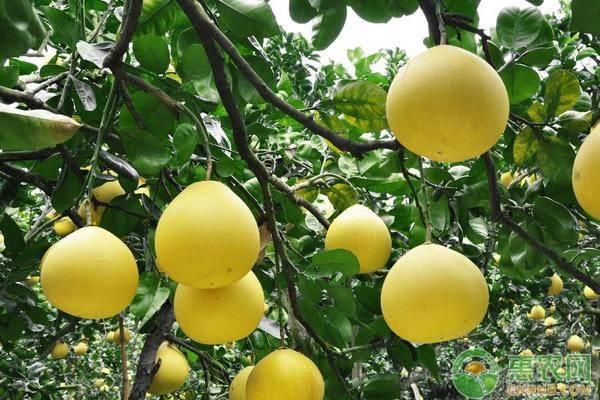柚子树采摘后的管理技巧