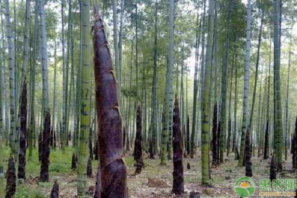 竹笋种植新技术内容
