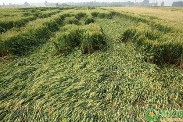 小麥倒伏原因
