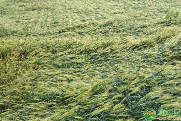 小麥倒伏補救措施