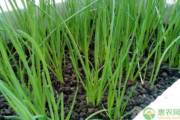 小香葱的种植时间和种植方法