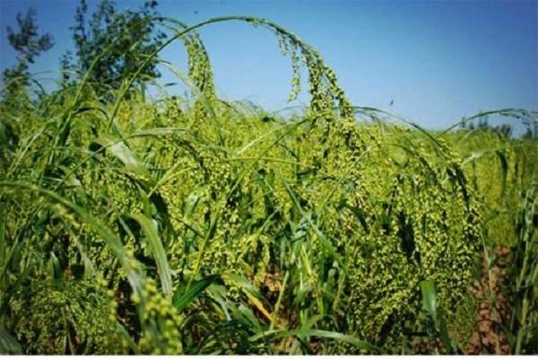 为实现全县富裕,府谷县发展特色农业项目,大力推动黄米品牌!