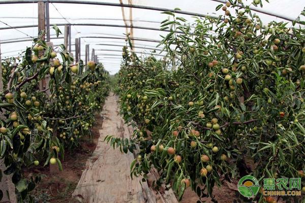 冬枣的种植前景