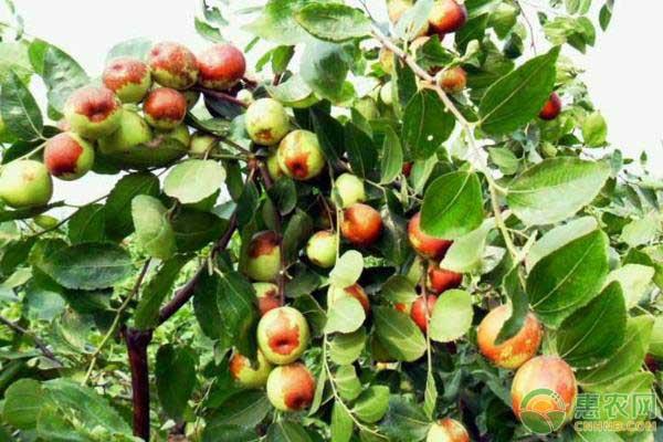 冬枣的种植成本