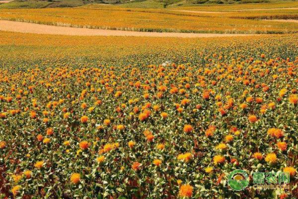红花籽油的功效作用