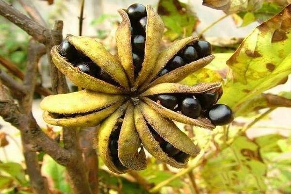 """牡丹籽油一斤600元,油用牡丹或已成为""""致富花"""""""