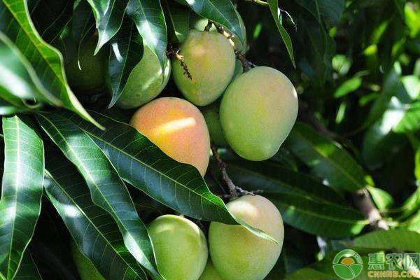 高产芒果的种植条件介绍