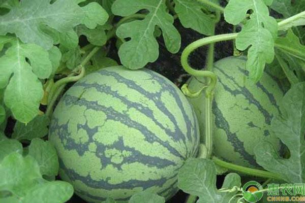 红宝来西瓜栽培方法