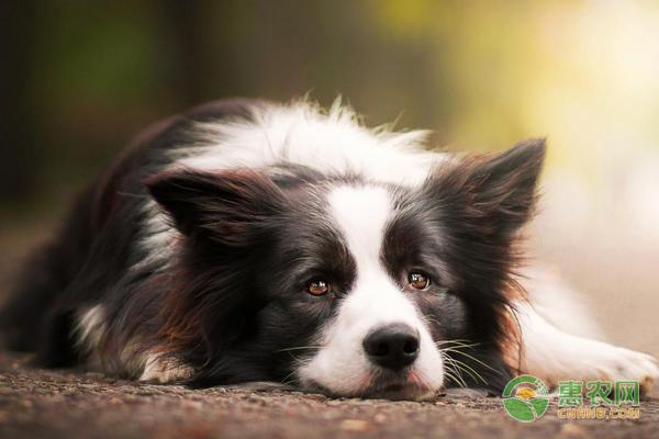 宠物狗脱毛的原因及治疗方法