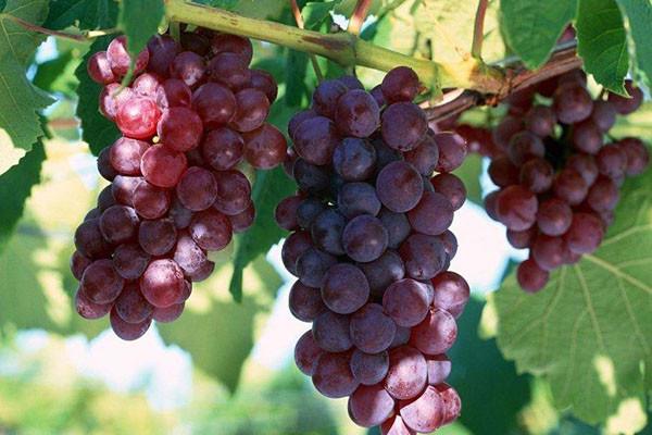 中国常见的葡萄有哪些品种?有何优缺点?葡萄品种大全介绍