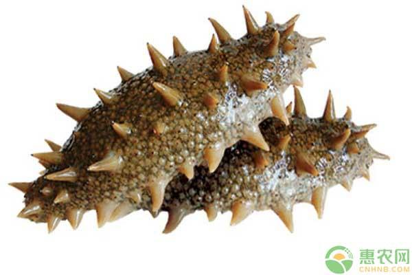 海参品种区分