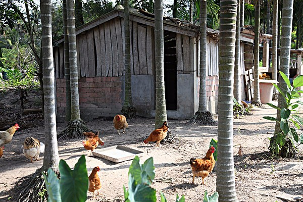我们常见的鸡都有哪些品种?如何区别?鸡品种大全介绍