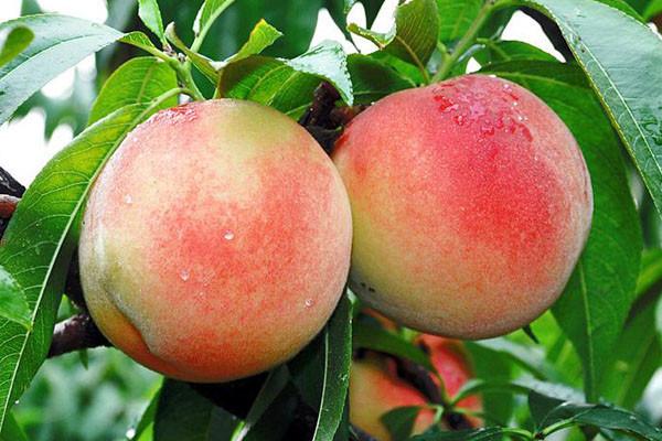 桃子好吃的品种有哪些?几月份成熟上市?桃子好吃品种大全