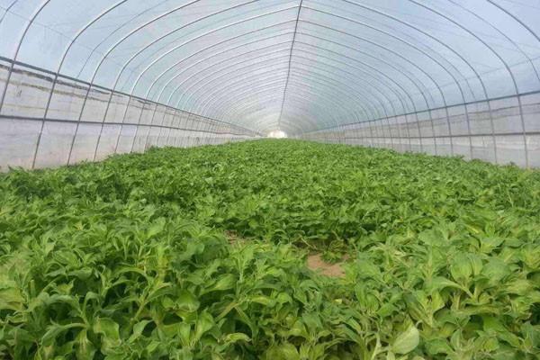 现在种冰菜赚不赚钱?冰菜种植前景及成本利润分析