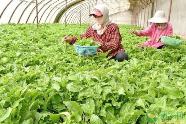 冰菜种植前景