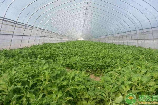 冰菜种植成本利润
