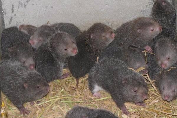 2019年养殖竹鼠赚钱吗?养殖成本与市场行情怎样?