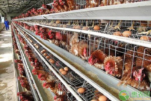 蛋鸡饲养补光