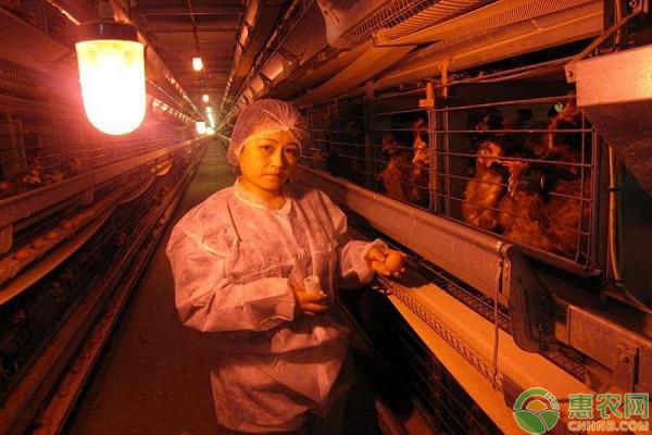 蛋鸡饲养补光的原因