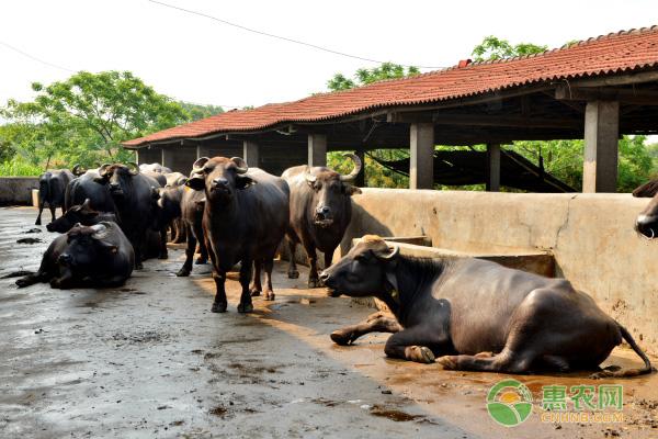 掌握这些养水牛的技术,不担心牛养不好!