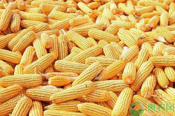今日玉米价格多少钱一斤?2019年全国玉米主产区价格行情预测