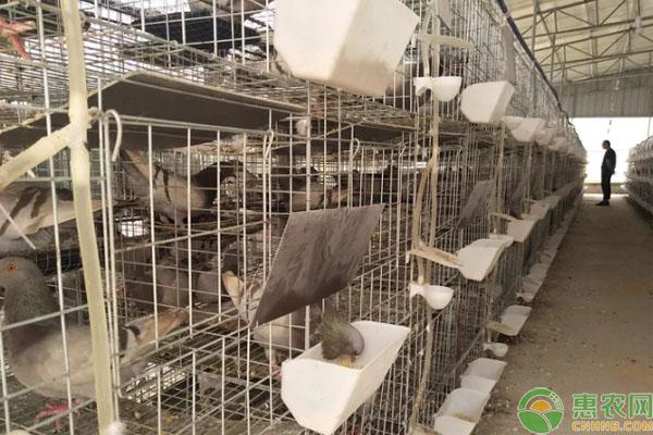 肉鸽养殖致富案例