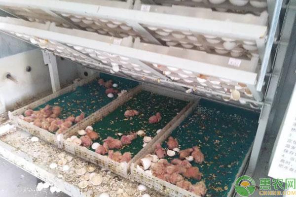 肉鸽养殖致富