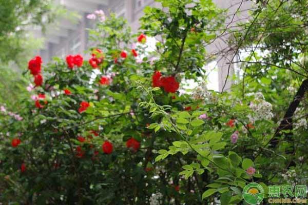 蔷薇花养护