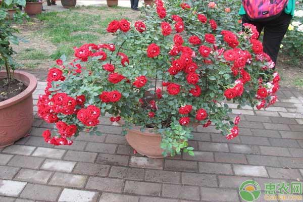 蔷薇花栽培方法