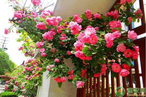 蔷薇花繁殖方式