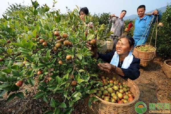 油茶产业和精准扶贫的有机融合
