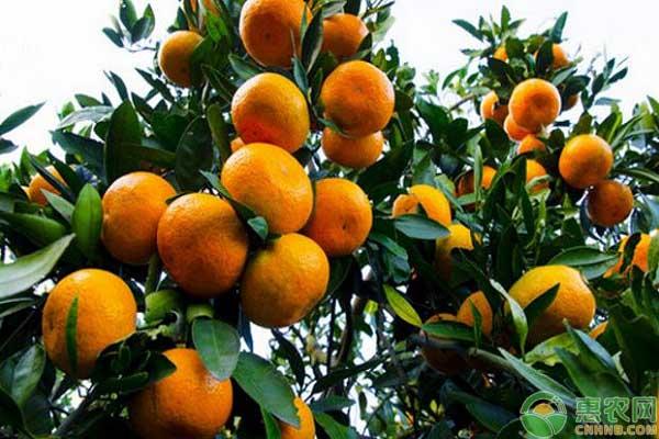 柑橘根系生长