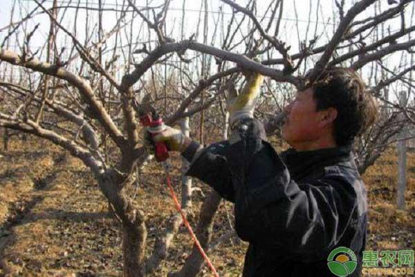 果树修剪冒条过多的原因