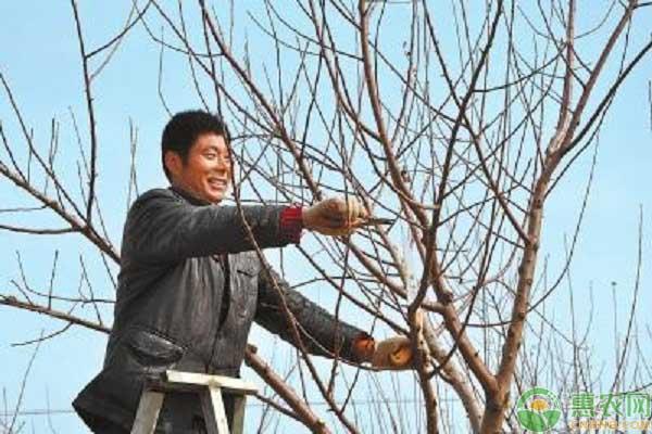 果树修剪冒条过多的解决方法