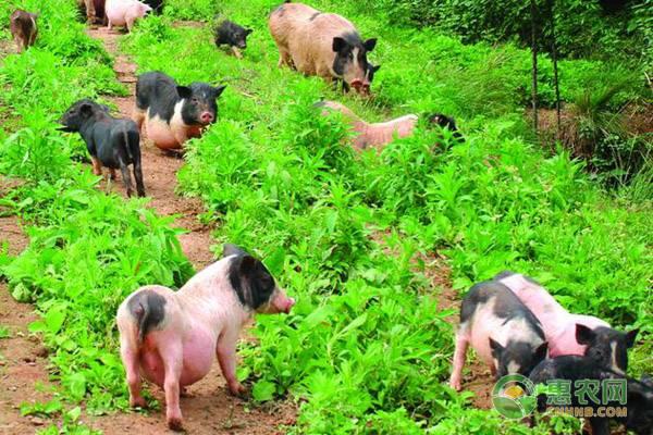 现在市场上香猪肉价格贵吗?香猪肉与猪肉有何区别?