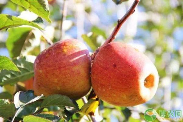 苹果有哪些常见品种?哪个品种的苹果好吃?