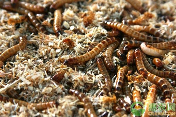黄粉虫的利用与加工方法