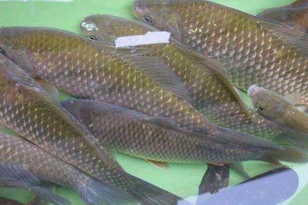 2019年鲫鱼价格多少钱一斤?鲫鱼的营养价值及功效