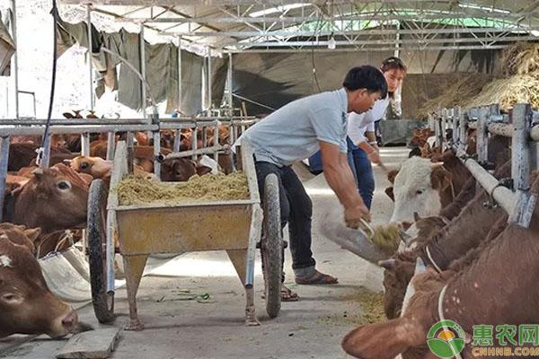黄牛养殖致富