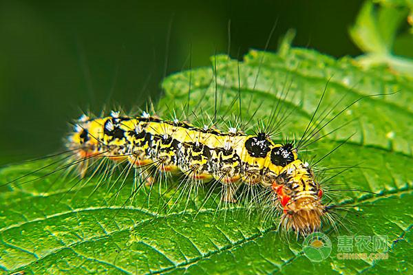 常见的毛毛虫有哪些?价格多少钱一斤?它们各有什么特征?